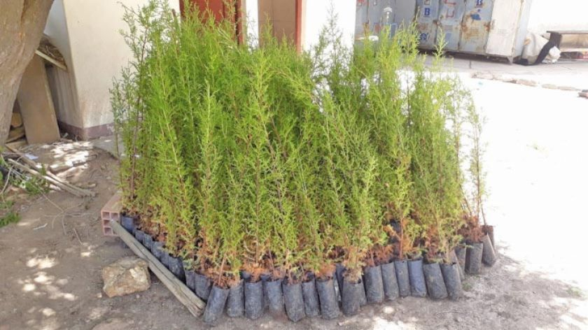 Más de 700 estudiantes plantarán un millar de árboles en Karachipampa