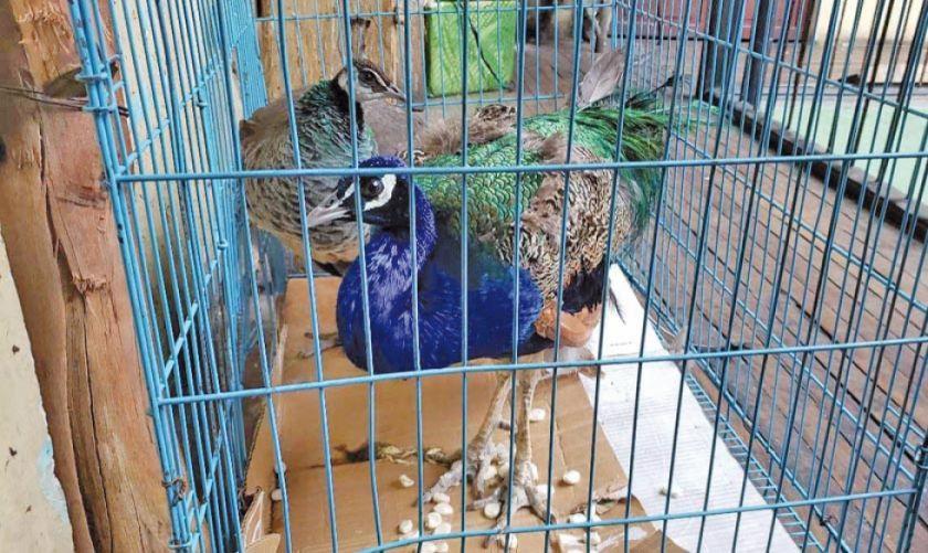 Rescatan a 500 aves exóticas en La Paz