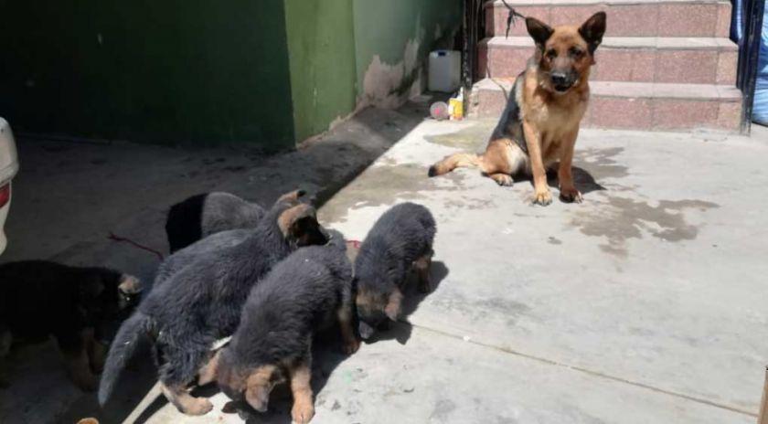 El Alto: FELCC rescata a perro robado y encuentra presunto negocio ilícito con canes