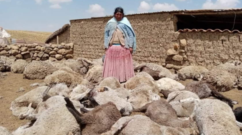 """Tras ataque a ganado en Milluni, pobladores advierten con bloqueos si no detienen a """"perros salvajes"""""""