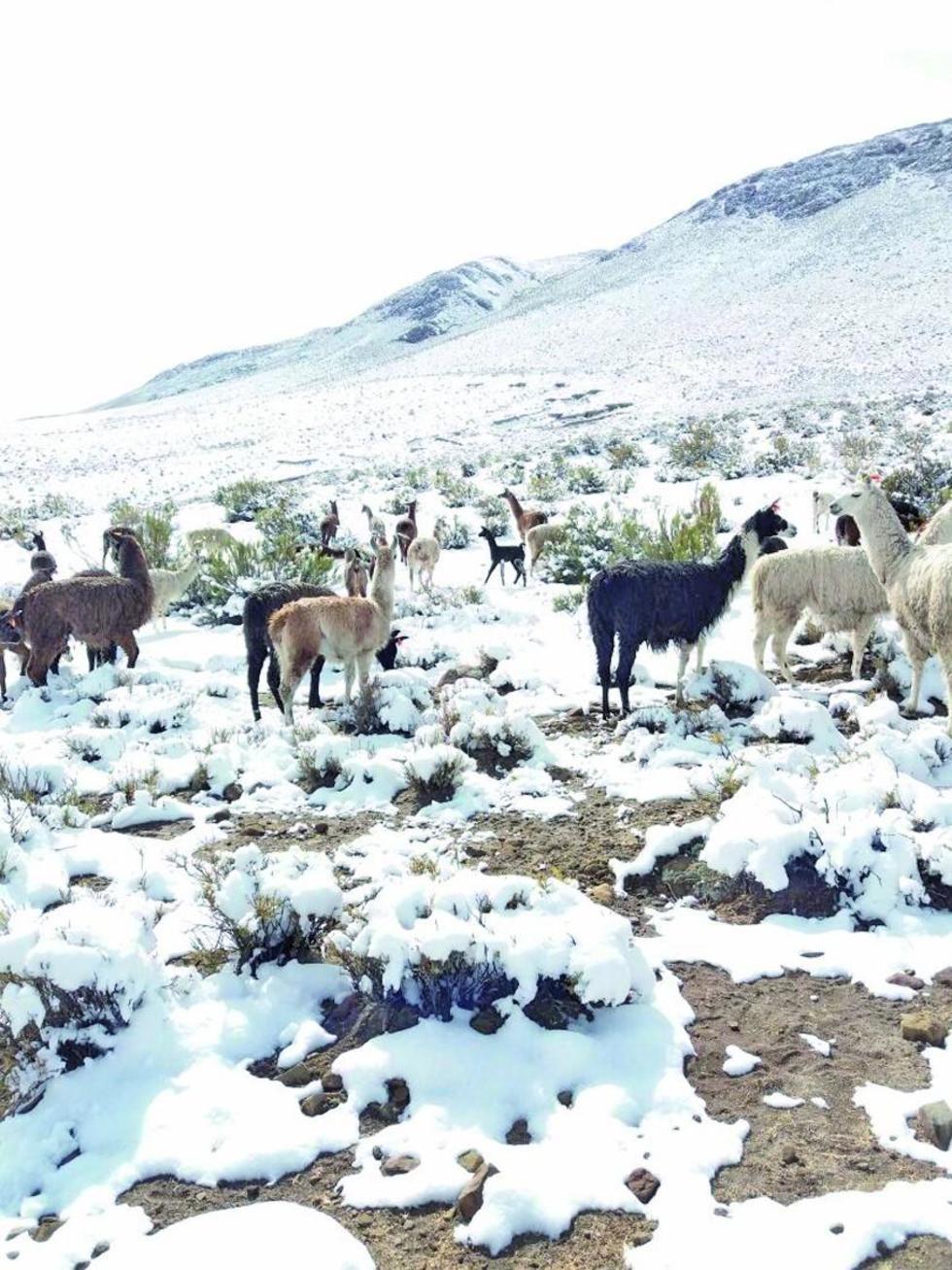 Miles de animales buscan alimento en medio de la nieve.