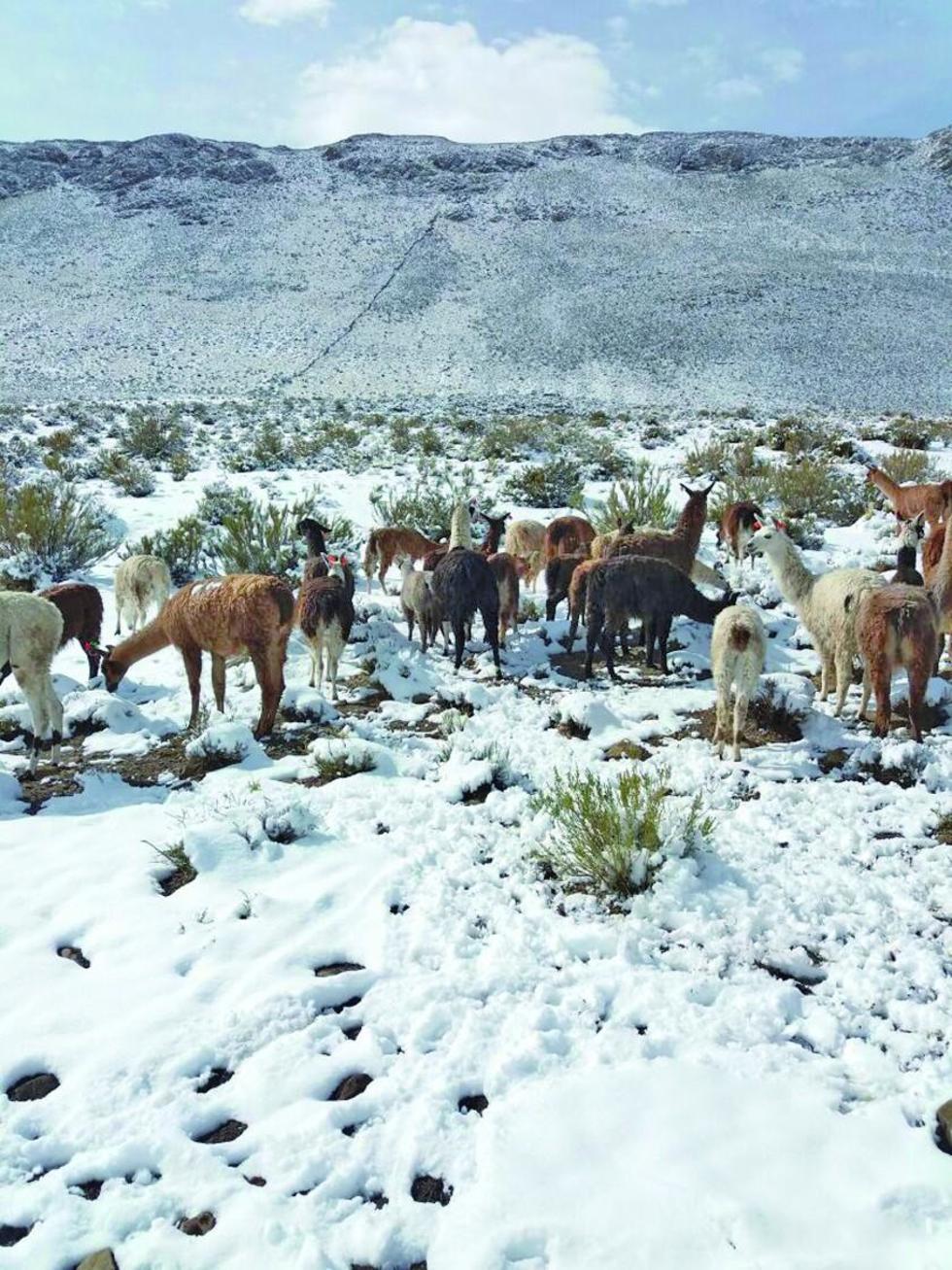 Casi 6 mil animales se hallan en riesgo por la nevada en el sudoeste