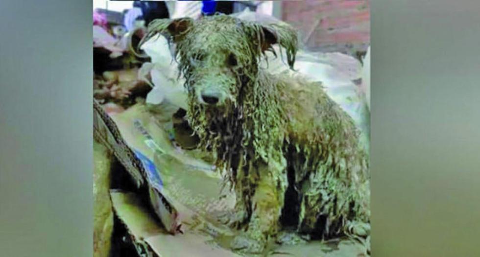 En Tiquipaya, un refugio para canes y sufrió una inundación y más de 80 perros están afectados.