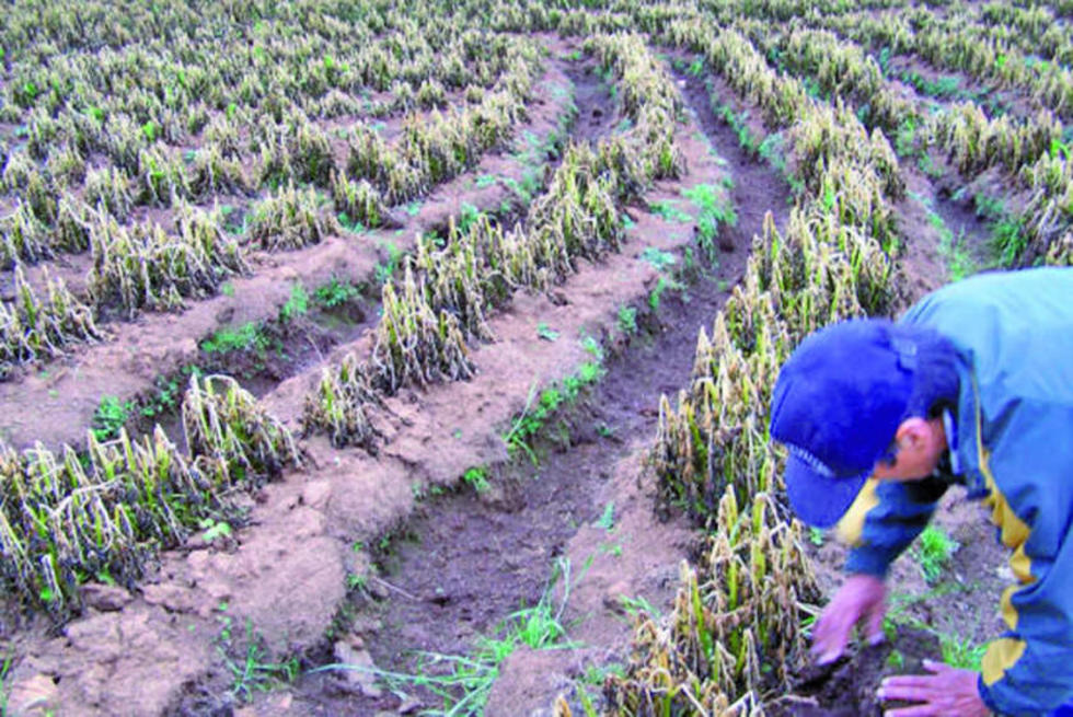 El fuerte frío destruyó la producción en comunidades potosinas.