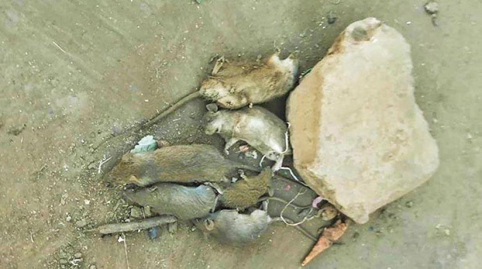 Cochabamba: 4 mercados están afectados por ratas