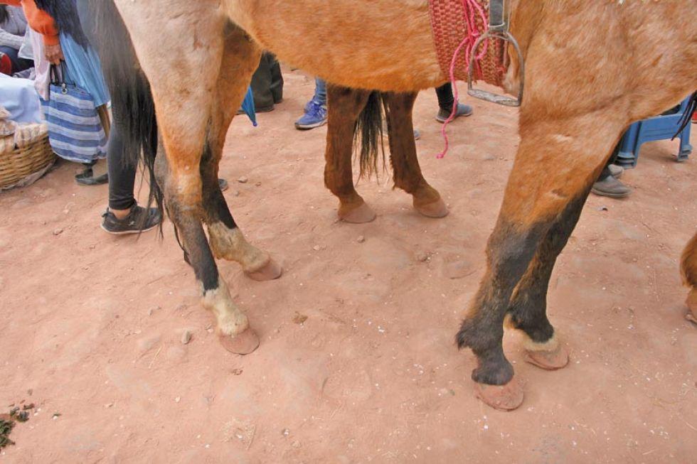 Este caballo no tenía herraduras en las patas traseras.