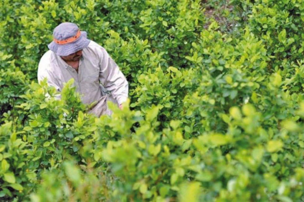 Erradicación de cocales inicia en el Chapare y la zona de Yungas